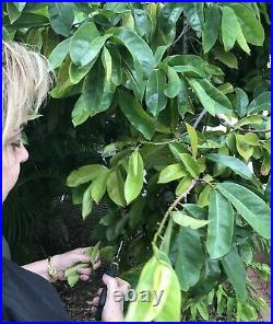 120 Organic Soursop Ojas De Guanabana Dried Leaves