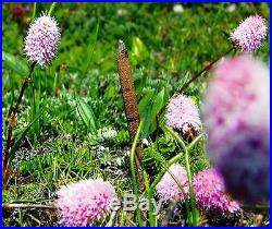 1/G Cordyceps sinensi Wild Tibetan Yartsa Gunbu caterpillar fungus Mushroom