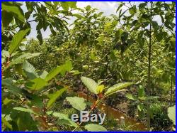 1 Kilo Bali, Boreno, MD, Green, White, Golden Yellow, Red, Vietnam, 1000 grams