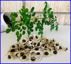 40 Moringa Oleifera Seeds planting 100% Growth Organic Miracle Tree Horseradish