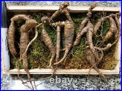 American Fresh Wild Ginseng Root PANAX 90g Gift Pack (0.2 LBS 5060 years old)