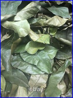 Approx 120 Organic Graviola Soursop Leaves Hojas De Guanabana