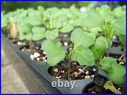 Broccoli Seeds for Sprouting, 0.5-25Lbs Kosher, Sirtfood, Bulk by Food to Live
