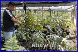 Calaguala Kalawalla Rhizome Powder Polypodium Leucotomos 50 g / 1.76 oz