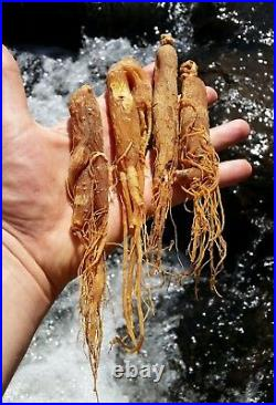 Korean Red Ginseng Root 6 year Whole roots Ships from USA Premium Grade