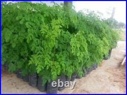 MOGO 60 Organic Moringa Seeds. Eatable and Plantation. USA Seller