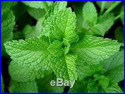 Peppermint Essential Oil 100% Pure and Free Shipping Ships Today