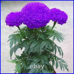 Purple Blue Marigold 100Seeds Home Garden Flowers Pot Plantis BALCONY Perennial