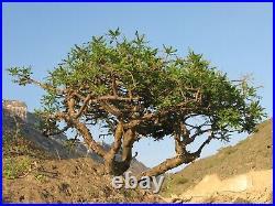 Royal Green Frankincense Hojary resin Oman, Boswellia sacra. Hojari